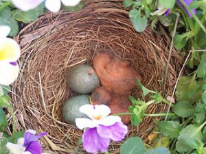 320px-Hatchling_birds_in_nest_with_eggs