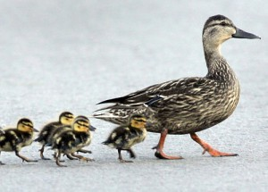 ducklings-following-mother-m