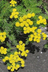399px-Little_Yellow_Flowers