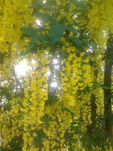 Laburnum_anagyroides_yellow_flowers -- in sunlight