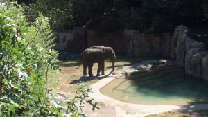 Asian Elephant at the National Zoo