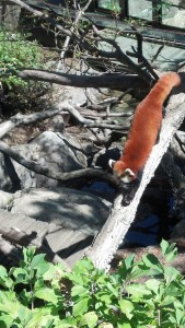 Red Panda at the National Zoo
