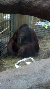 Orangutan at the National Zoo