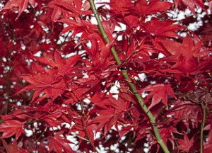 red leaves on tree in Autumn